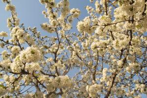 cseresznyefavirágzás